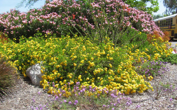 Yellow Spreader Lantana is a feisty substitute for more frilly perennials.