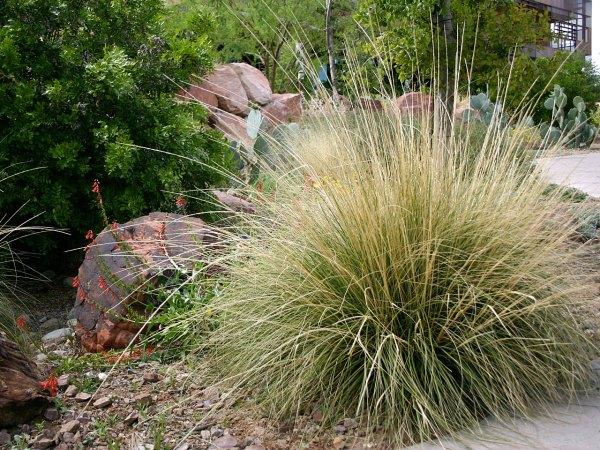 Dry shade plants Muhlenbergia rigens Deer Grass