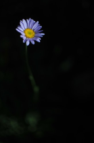Daisy in darkness
