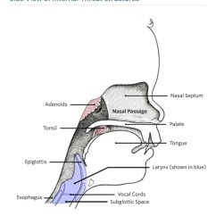 Throat Anatomy Diagram Ternary Phase Software And Physiology Children S Hospital Of Philadelphia Side View Internal Structure