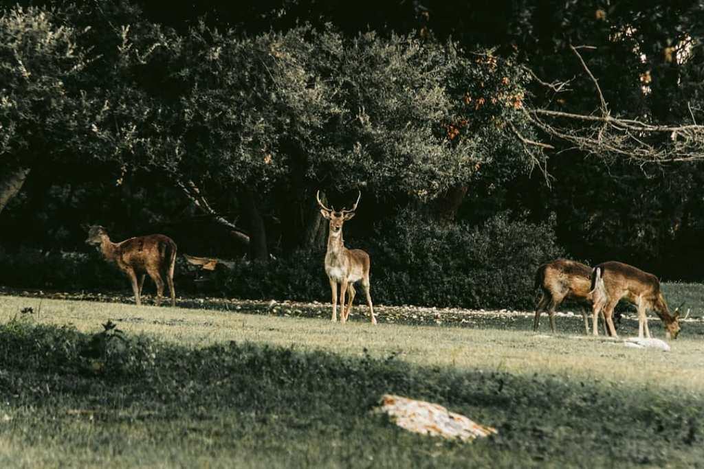 Brijuni - park safari
