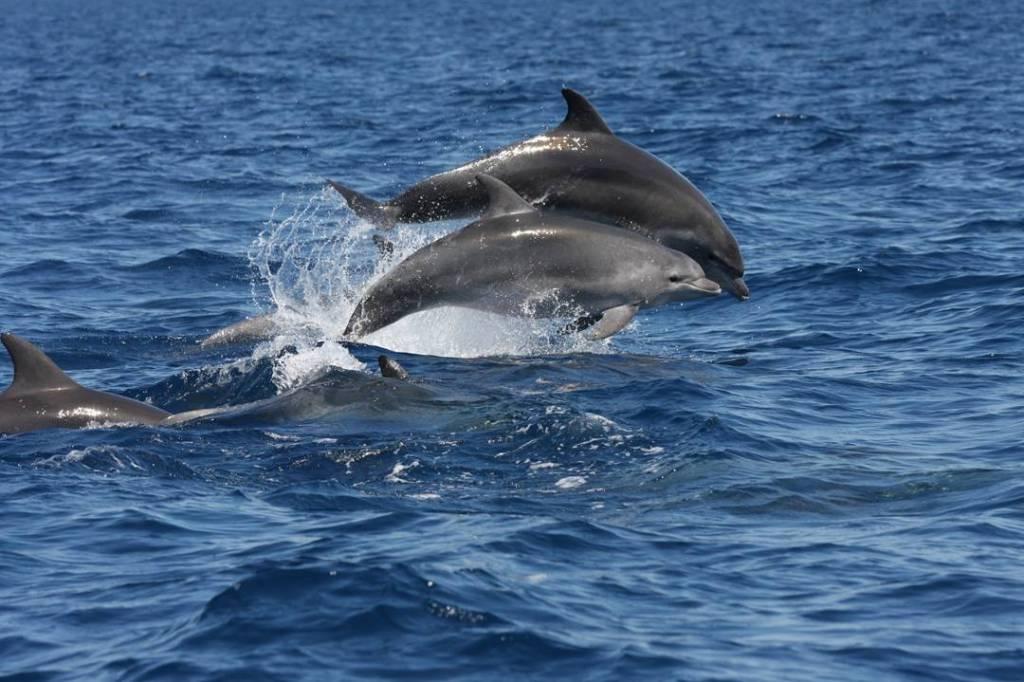 stado delfinów w pobliżu Losinja