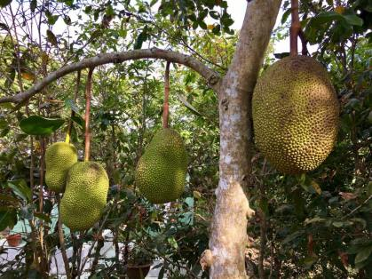 Giant jackfruit.