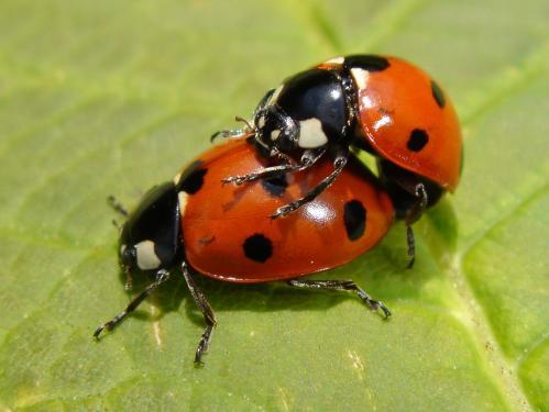 https://i0.wp.com/www.chris-schuster.com/pics/insects/beetles/lady_bug/medium_coccinella_septempunctata_mating_1.jpg