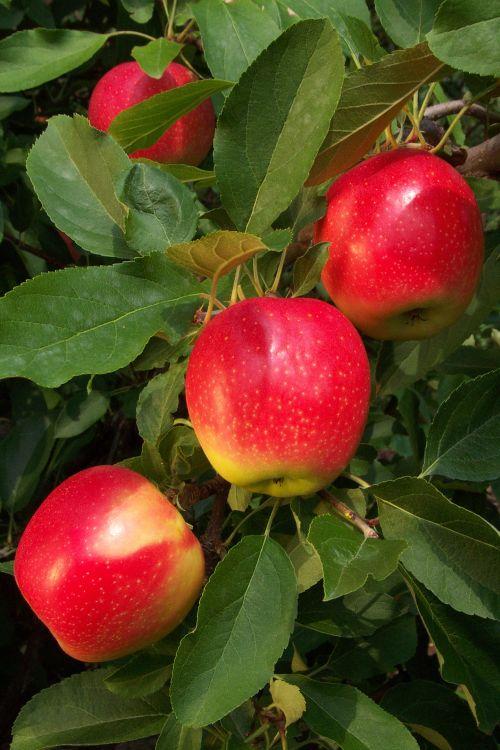 Fall Apples Wallpaper A B Sunrise Apple Trees Chris Bowers