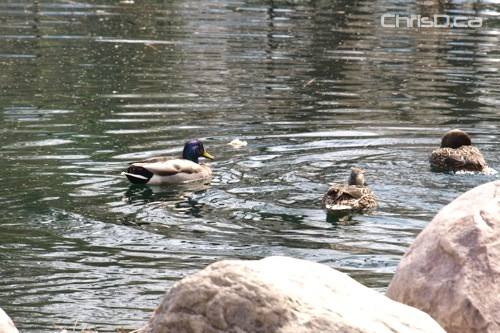 Assiniboine Park Ducks