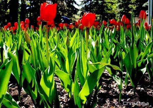 First Annual Tulip Festival - Assiniboine Park