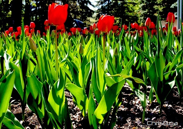 Tulips in Assiniboine Park (CHRISD.CA FILE)