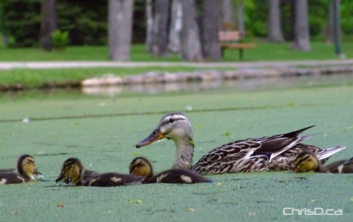 Ducks - St. Vital Park