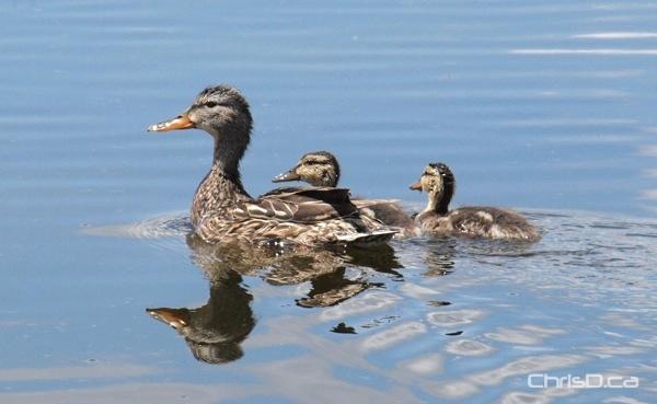FortWhyte Alive - Ducks