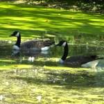 Geese - St. Vital Park