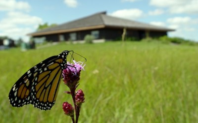 Monarch Butterflies on Display at Annual Festival