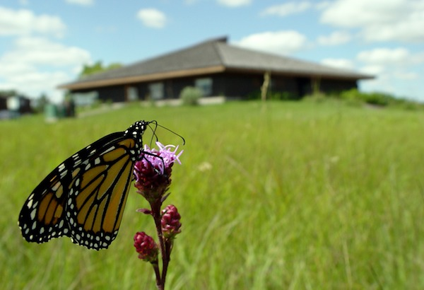 The Monarch Butterfly Festival will be held Sunday at the Living Prairie Museum, 2795 Ness Avenue. (HANDOUT)