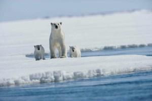 Polar Bears - Arctic