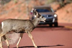 Deer - Car