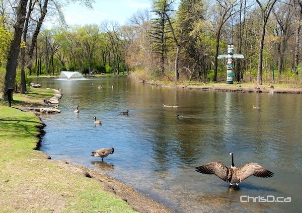Geese enjoy themselves at the St. Vital Park Duck Pond in this 2012 file photo. (STAN MILOSEVIC / CHRISD.CA)