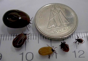 Blacklegged Ticks