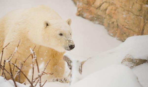 Storm Polar Bear