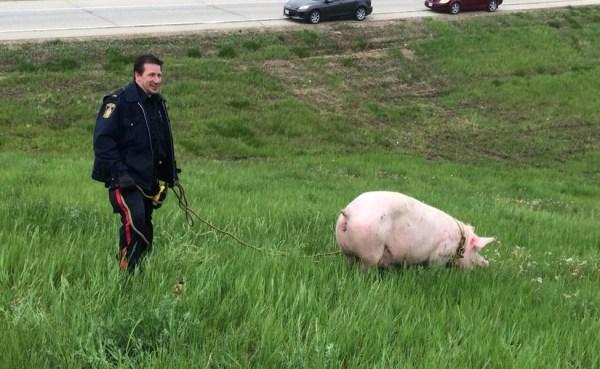 Loose Pig