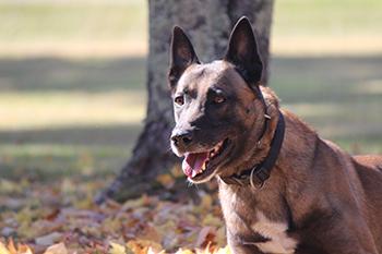 Riley - Police Dog