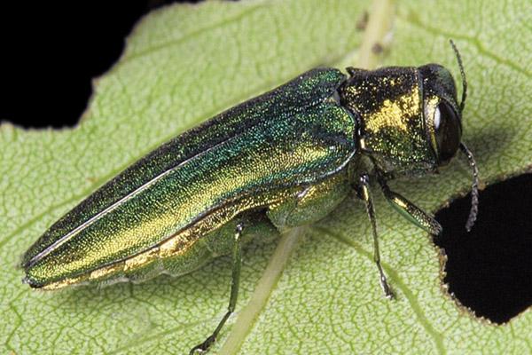 An Emerald Ash Borer on a leaf. (WIKIPEDIA COMMONS)