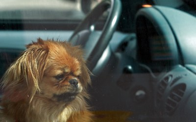 WHS Warns of Public Vigilantism in Rescuing Animals Trapped in Hot Vehicles