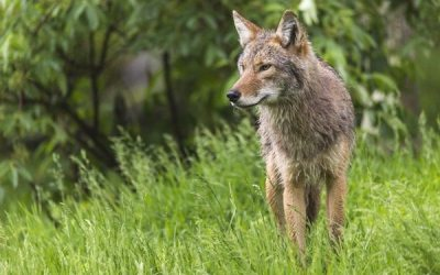Coyote Activity Forces Temporary Closure of Assiniboine Forest