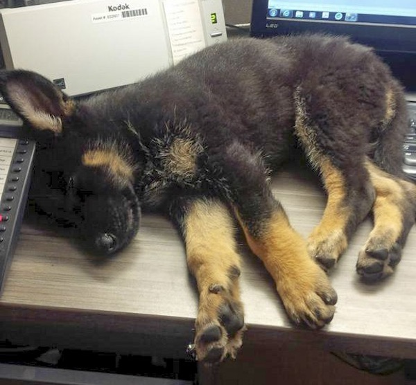 RCMP Dog Sleeping