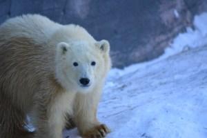 Nanuq - Polar Bear