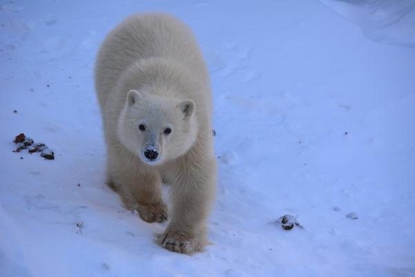 Siku - Polar Bear
