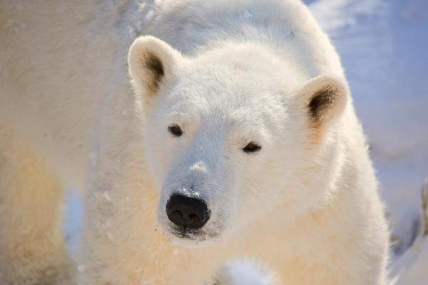 Eli - Polar Bear