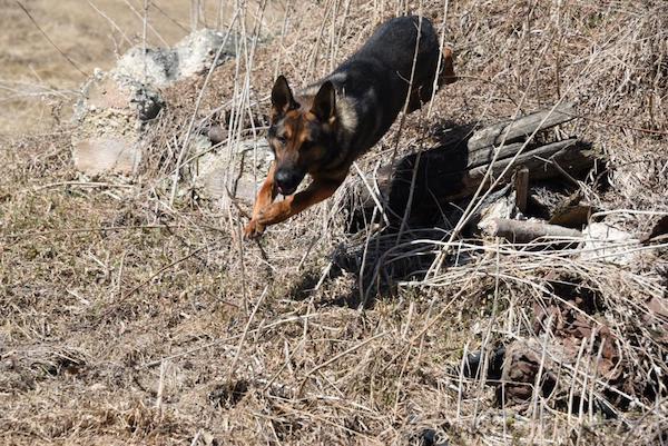 Eddie RCMP Dog
