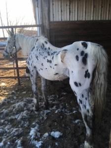 Foxy Lady Horse
