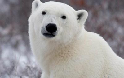 Manitoba to Designate Polar Bear as a Provincial Emblem