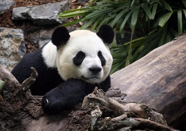 Panda Bear - Calgary Zoo