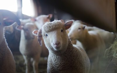 Going to the Sheep: Museum Welcoming Back Animals for Grounds Maintenance
