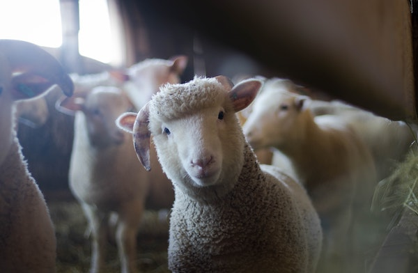 Sheep - Animals