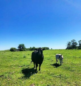 Cows Grazing - Bob Mickelson Conservation Lands