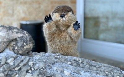 Manitoba Merv Makes Groundhog Day Prediction
