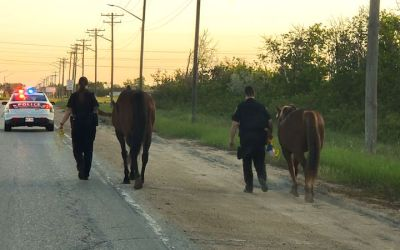 Winnipeg Police Corral Roaming Horses
