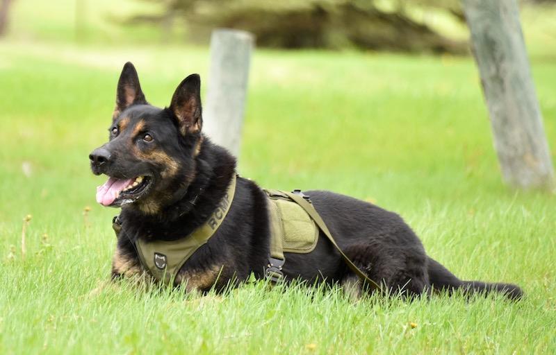 Earl - Police Dog