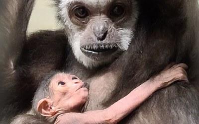 White-Handed Gibbon Born at Assiniboine Park Zoo