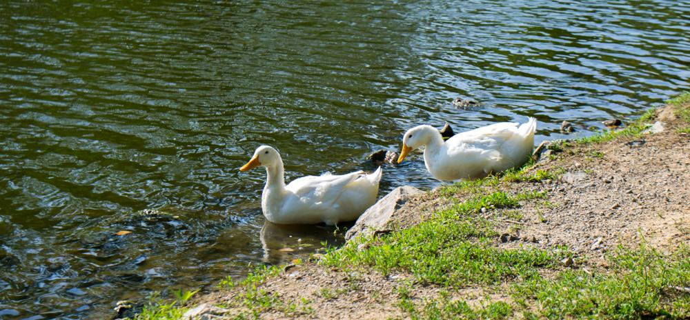 Shelby Park Ducks
