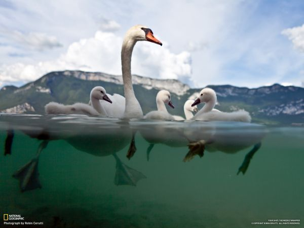 Image result for swan paddling