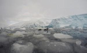 Cormorants in the icy sea