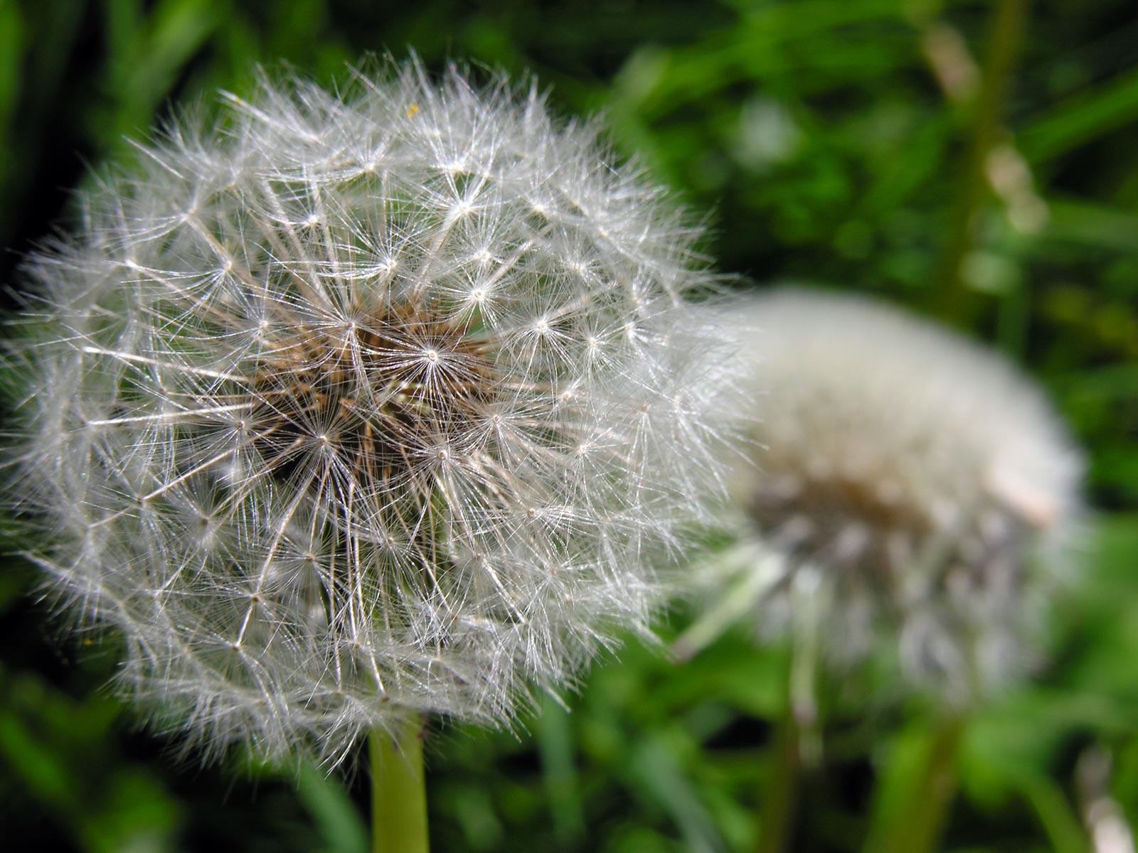 Dandelions By Deborah Austin