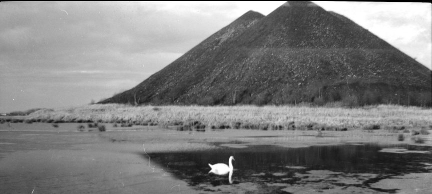 A single swan swimming in the pond in front of the coal bing at Millhall (Polmaise 1 and 2 pits)