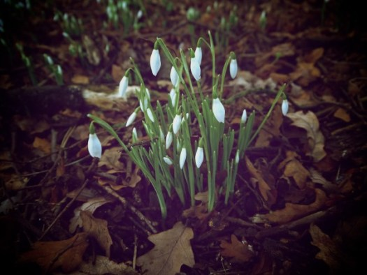 Snowdrops at Gosford