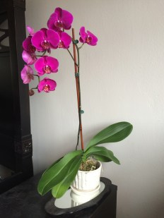 CHRISSIE_DOWLER_ORCHID