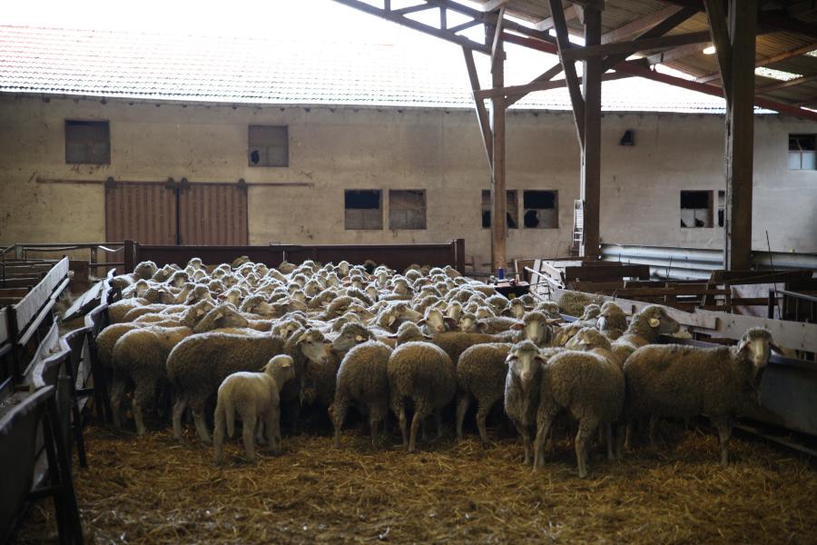 Est-A-Laine merino flock